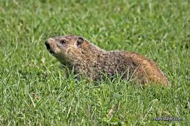 Maryland wildlife images Groundhog mdwildlife jpg