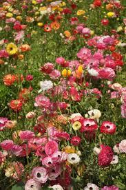 carlsbad flower garden best 25 carlsbad flower fields ideas on pinterest carlsbad