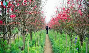 colorful blossoms bloom in nhat tan flower village before tet