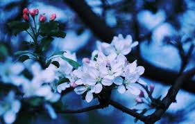 apple tree bloom wallpapers wallpaper apple blossom apple blooming apple tree branch of