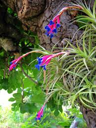 native florida air plants air plants fun easy plants to care for and display