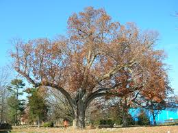 file salem oak tree salem nj november 2012 jpg wikimedia