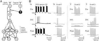 axonal conduction block as a novel mechanism of prepulse