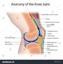 Anatomy Of The Knee Knee Joint Anatomy Labeled Stock Illustration 228843262 Shutterstock