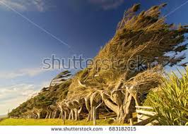 windswept stock images royalty free images vectors