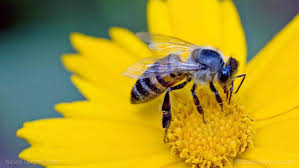 a u201cbat signal u201d for bees scientists have discovered that common