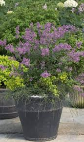 47 best shrubs for containers images on pinterest proven winners