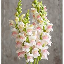 snapdragon flowers 100 magic carpet snapdragon flower seeds