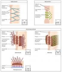 epithelial tissue anatomy and physiology i