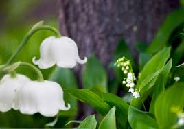 Lily Of The Valley Flower Best In Show Lily Of The Valley Fragrances 2016 Best In Show