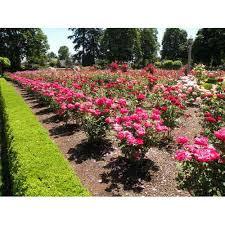 beautiful plants beautiful rose plants flower plant mahaveer singh contractor