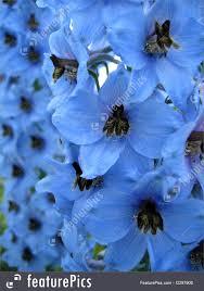 delphinium flowers blue delphinium flowers photo
