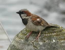 Sparrow by House Sparrow New Zealand Birds Online
