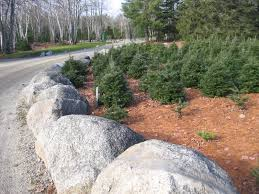 christmas tree fun facts deesnursery