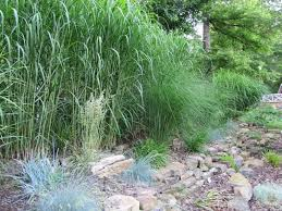grass and bamboo help selecting tallest ornamental grass