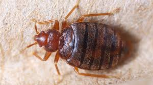 Bed Bugs In Sofa by How To Get Rid Of Bed Bugs Youtube