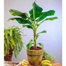 banana tree grow bananas at home