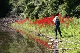 cardinal flower crimson flames in the woods cardinal flower flnps