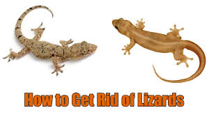 How To Get Rid Of Small Ants In Bathroom How To Get Rid Of Lizards At Home 11 Home Remedies To Get Rid Of