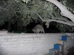 Raccoons In Backyard Common And Not So Common Animals