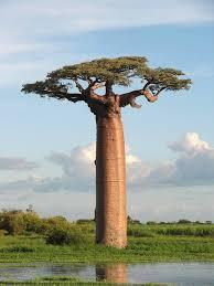 baobab the tree amusing planet