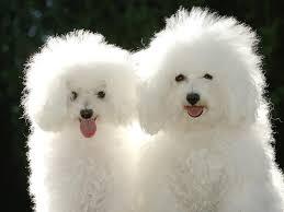 bichon frise fluffy bichon frise dogs bichon frise face with long hair petsrank com