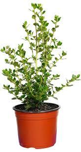 online native plants best 25 escallonia hedge ideas on pinterest garden hedges
