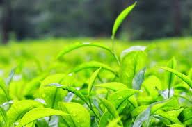 Teh Hijau kenali manfaat teh hijau dan efek singnya bagi kesehatan