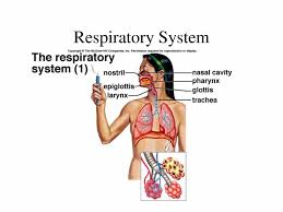 respiratory system drawing for kids respiratory system for kids