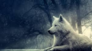 wolf pictures hd wallpaper hd wallpaper hdwallpaper2013 com