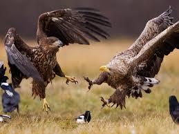 white tailed eagles poland