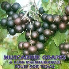 Grape Trellis For Sale Muscadine Grapes A Low Maintenance Fruit For Texas