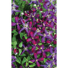 Proven Winners 1 Gal Sweet Summer Love Clematis Live Shrub Red