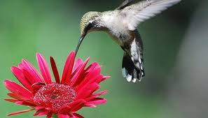 hummingbird flowers how does a hummingbird find food sciencing