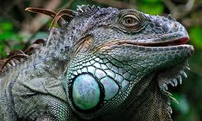 Imágenes De Iguanas Verdes | iguana verde características qué come dónde vive
