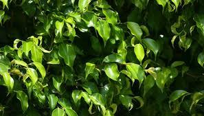 House Plants Diseases - ficus tree diseases garden guides