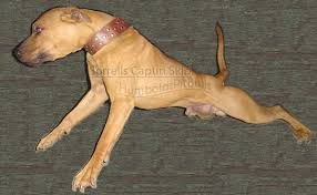 Seeking Pitbull American Pit Bull Terrier History Pitbull Stories
