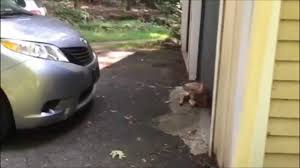 fawn u2013 baby deer sitting by my garage door u2013 slow motion clips