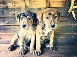 Canine Creature Comforts 13 Best Mountain Curs Images On Pinterest Hunting Dogs Mountain