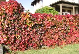 best climbing plant for shade fence the best climbing plant for