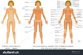 Human Body Anatomy Pics Female Body Front Surface Anatomy Human Stock Vector 304136381