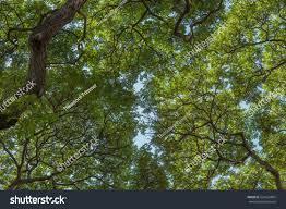 hawaiian monkey pod tree canopy vertical stock photo 524632804