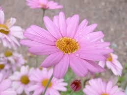pink flower pink flower pink flower wallpapers 14127 hdwpro pink flower pink