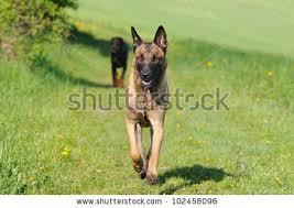 belgian shepherd timberwolf stock images royalty free images u0026 vectors shutterstock
