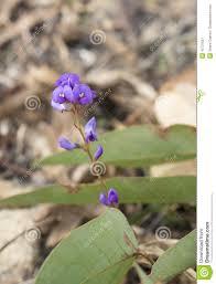 australian native climbing plants sarsaparilla flower australian native climber hardenbergia viola