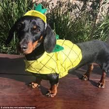 Mini Dachshund Halloween Costumes Kmart Released Halloween Costumes Pets Daily Mail