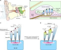 Basic Anatomy Of The Ear Articles Physiology