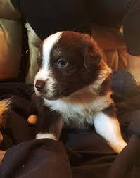 3 week old australian shepherd puppy 6990 best australian shepherd images on pinterest aussies