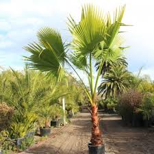 mexican fan palm growth rate fan palm