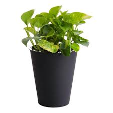 6 in golden pothos in self watering pot home the o u0027jays and